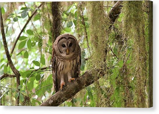 Barred Owl  Canvas Print