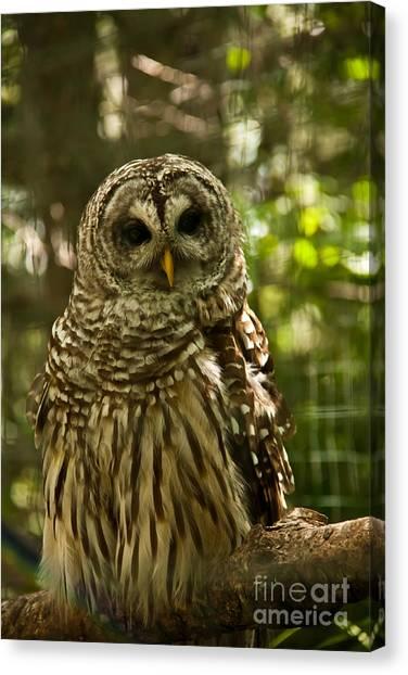 Barred Owl Canvas Print by Rachel Duchesne