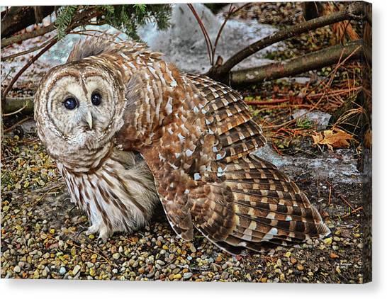 Barred Owl Warning Canvas Print