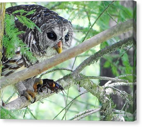 Barred Owl With Crawfish Canvas Print by Betty Berard