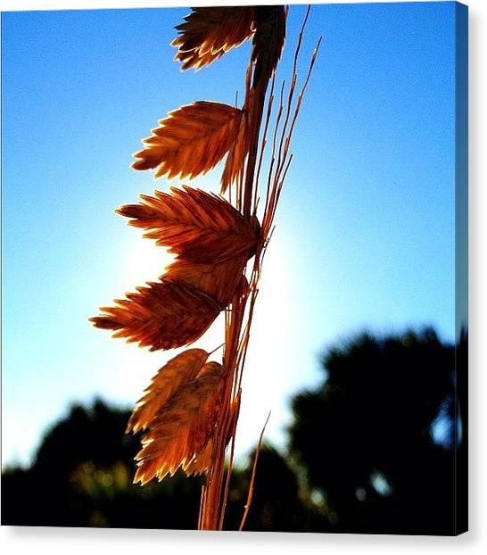 Seagrass Canvas Print - #beach #boardwalk #seagrass #iphonesia by Matt Turner