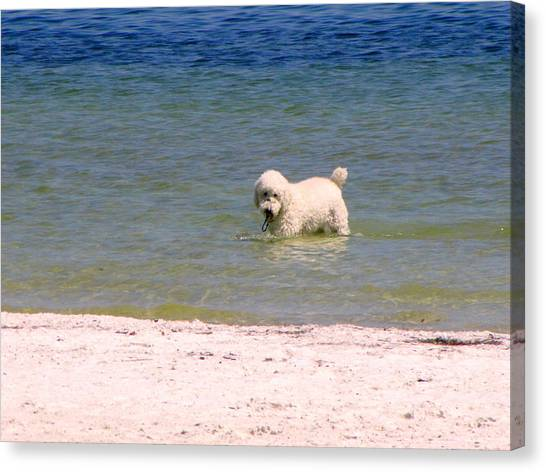 Beach Poodle Canvas Print