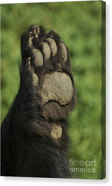 Bear Paw Canvas Print by Jenny May