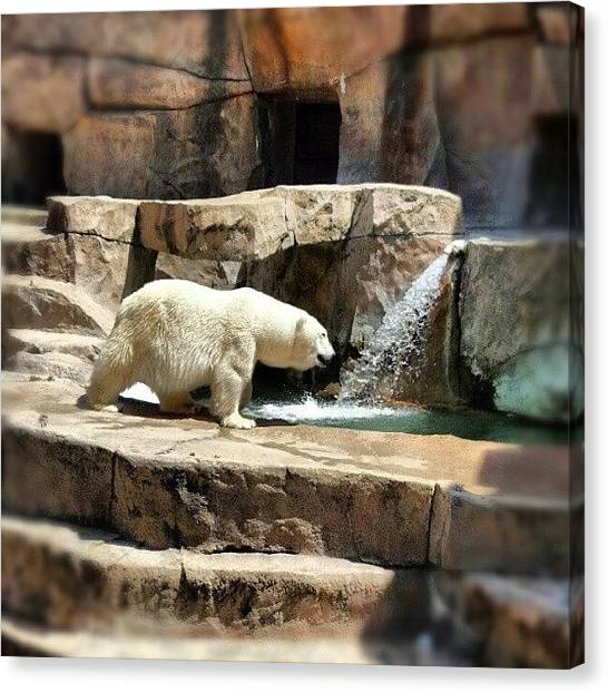 Bears Canvas Print - #bear #polarbear #zoo #park #color by Bryan P