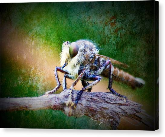 Bearded Robber Fly Canvas Print by Barry Jones