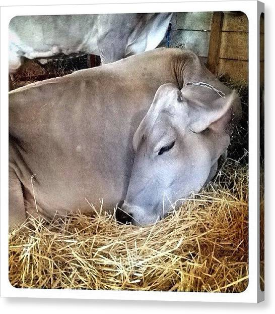 Ohio Canvas Print - Beautiful Brown Swiss by Natasha Marco