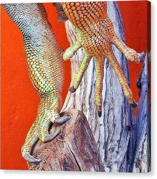 Iguanas Canvas Print - Beautiful Colours On The Iguana by Tanya Sperling