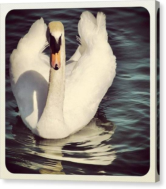 Swans Canvas Print - #beautiful #white #swan #lakeshore by Christinaashley Huynh