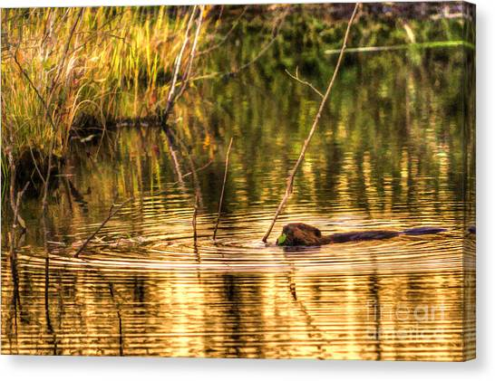 Beaver Eating Late Evening Canvas Print by Dan Friend