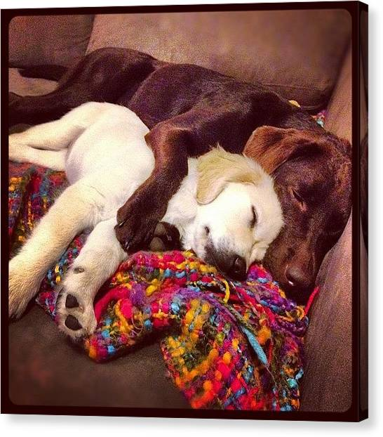 Labrador Retrievers Canvas Print - Bed Buddies... by Candice Courtney