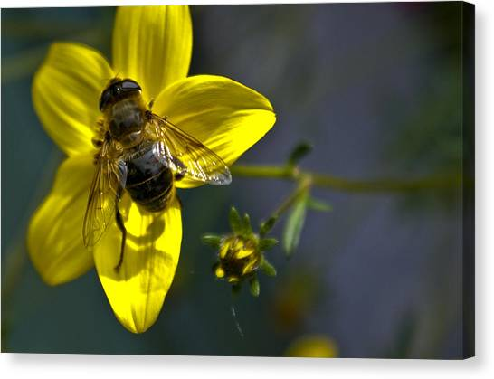 Bee At Rest Canvas Print