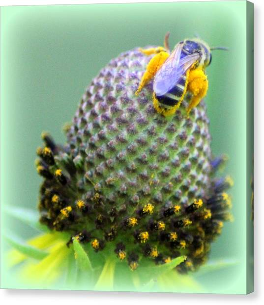 Bee Covered In Pollen Canvas Print by Maureen  McDonald