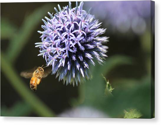Bee In Flight Canvas Print by Janet Mcconnell