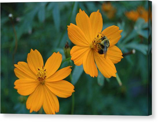 Bee On Cosmos Flower  Canvas Print
