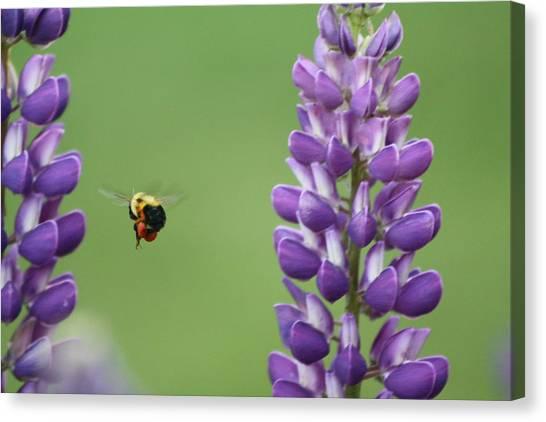Bee On Lupine 2 Canvas Print