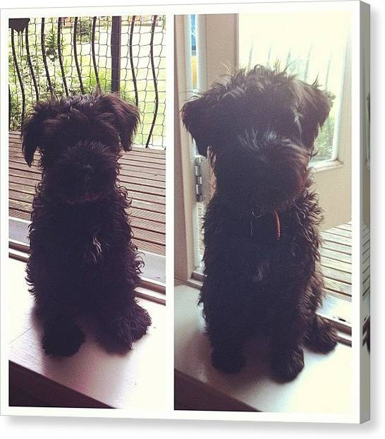 Schnauzers Canvas Print - Before And After! How Much He Has by Laurena Pascoe