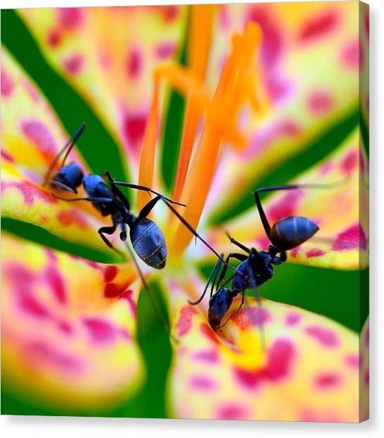 Ants Canvas Print - #belamcanda #belamcandachinensis #macro by Zaqqy J