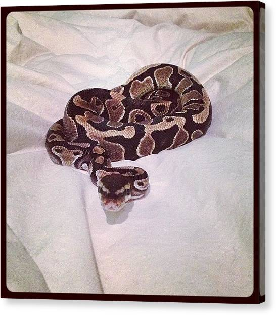Pythons Canvas Print - Bella's Almost A Year Old Now #python by Jordan Marcia