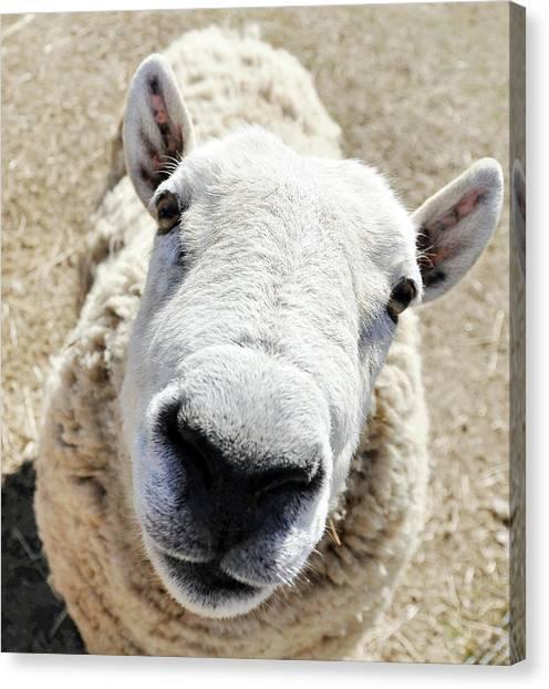 Benny The Sheep Canvas Print