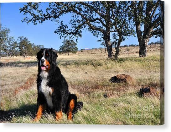 Bernese Mountain Dog In California Chaparral Canvas Print