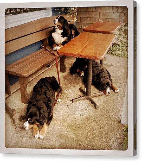 Bernese Mountain Dogs Canvas Print - Bernesetriplets by Inna Jasons