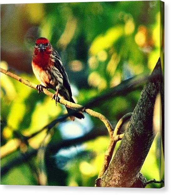 Finches Canvas Print - Bert And Alien Bokeh by Penni D'Aulerio