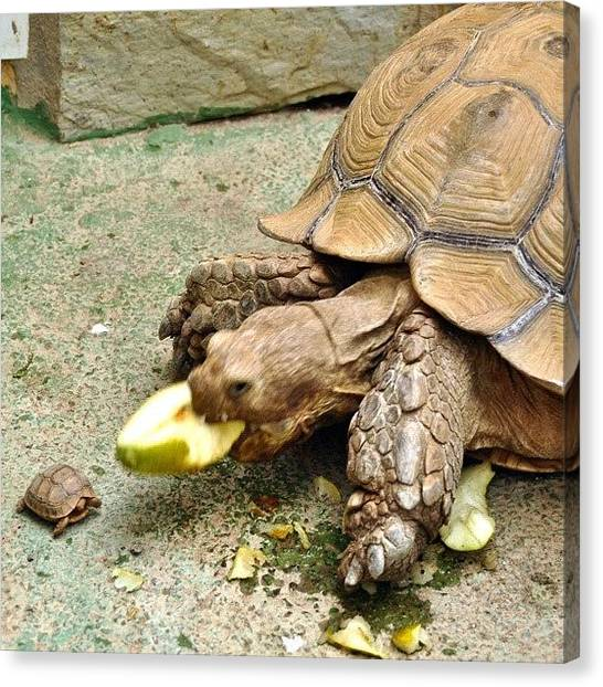 Tortoises Canvas Print - Big And Small... And The Big One by Tanya Sperling
