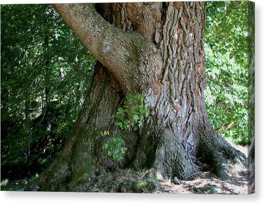 Canvas Print featuring the photograph Big Fat Tree Trunk by Lorraine Devon Wilke