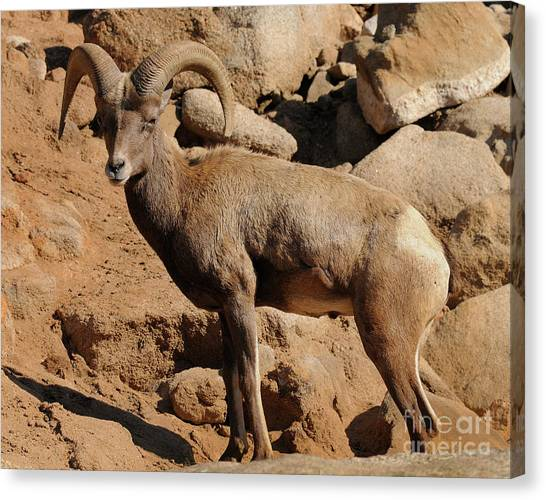 Big Horn Canvas Print by Marc Bittan