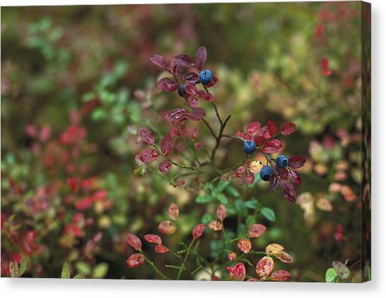 Ural Mountains Canvas Print - Bilberry Vaccinium Myrtillus Bush by Konrad Wothe
