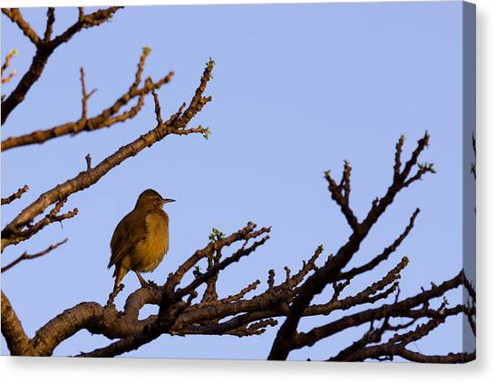 Bird In Dry Tree Canvas Print by Joab Souza