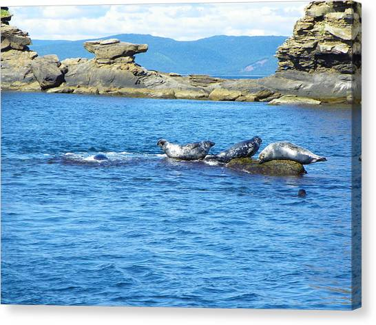 Bird Island Seals Canvas Print
