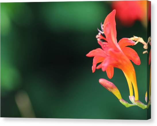 Bird Of Paradise Canvas Print by Janet Mcconnell