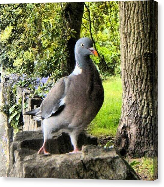 Dove Canvas Print - #birdporn #collarddove #dove #doves by Kevin Zoller