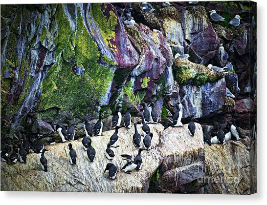 Razorbills Canvas Print - Birds At Cape St. Mary's Bird Sanctuary In Newfoundland by Elena Elisseeva