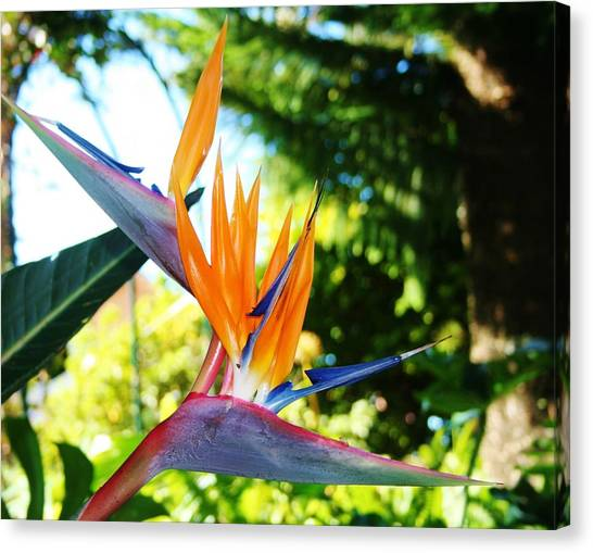 Birds Of Paradise In Tamborine Australia Canvas Print