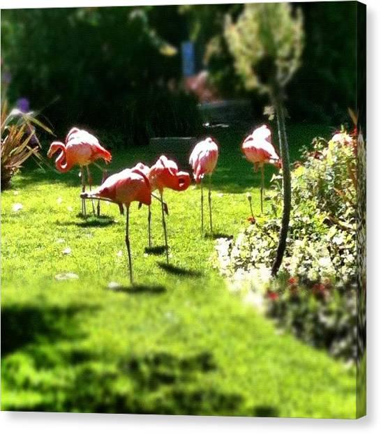 Flamingos Canvas Print - #birds #pink #flamingos #cornwall by Matt Perkins