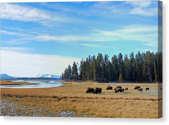 Yellowstone National Park Canvas Print - Bison Along Yellowstone River by Twenty Two North Photography