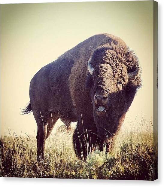 Wyoming Canvas Print - #bison In #yellowstone National Park by Cassidy Taylor