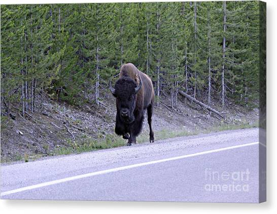 Bison On Road Canvas Print