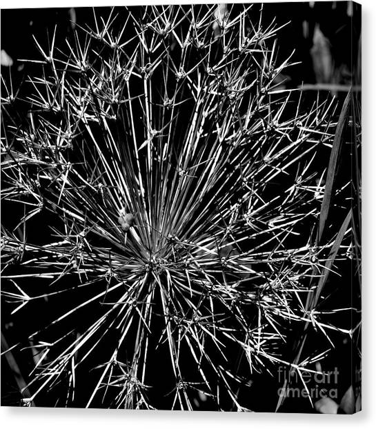 Black And White Allium  2 Canvas Print by Tanya  Searcy