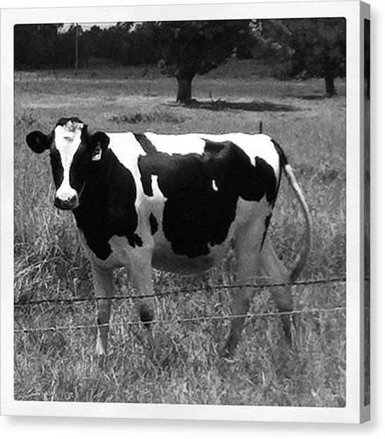 Milk Canvas Print - Black And White Cow by Chris Tuminello
