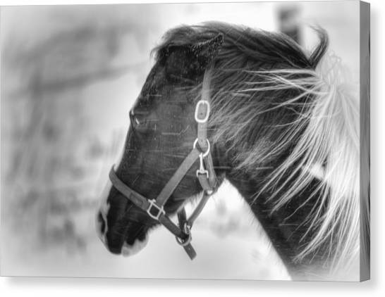 Black And White Horse Portrait Canvas Print by Gary Smith