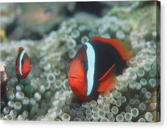 Amphiprion Melanopus Canvas Print - Black Anemonefish by Georgette Douwma
