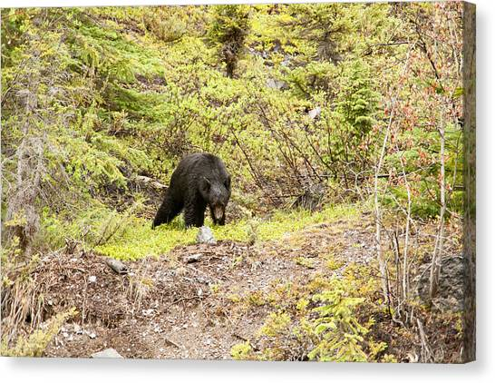 Black Bear 1899 Canvas Print by Larry Roberson
