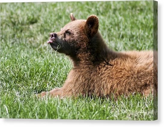 Black Bear Cub I Canvas Print