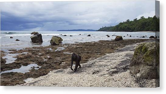 People Walking On Beach Canvas Print - Black Crested Macaque Male Walking Along A Beach by Anup Shah
