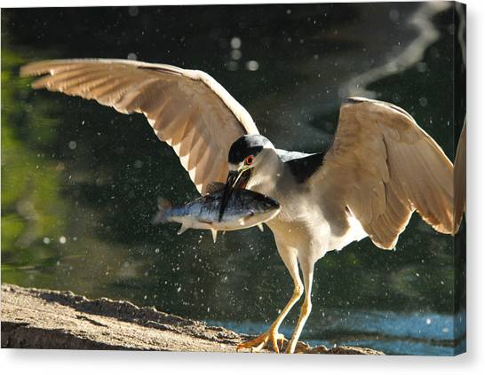 Black-crowned Night Heron Canvas Print