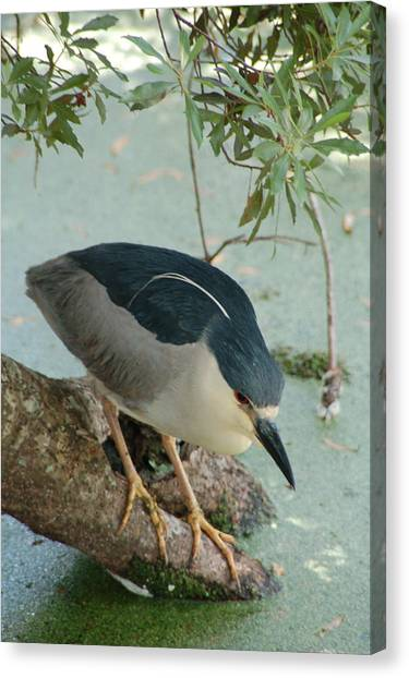 Black Crowned Night Heron Canvas Print by Peg Toliver