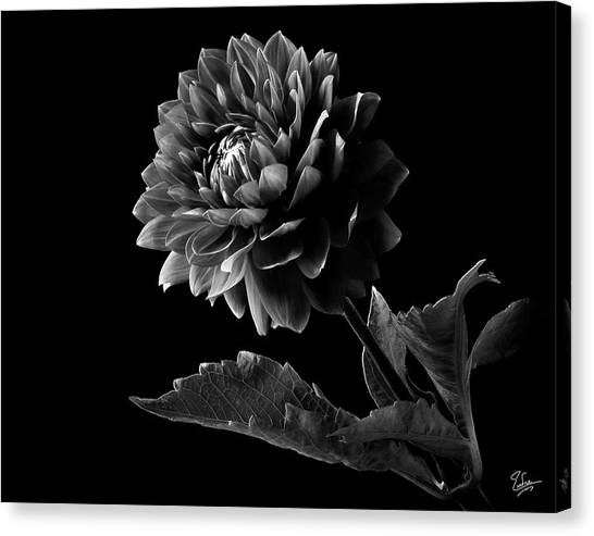 Black Dahlia In Black And White Canvas Print